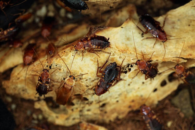 turkestan cockroaches